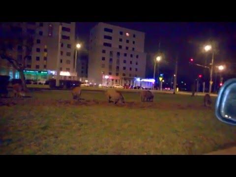 Dzikuski W Warszawie - Metro Młociny