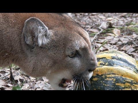 Reise Cougar Halloween