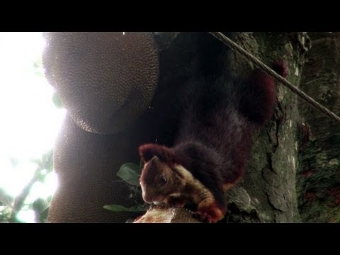 Indian Giant Squirrel eating jackfruit