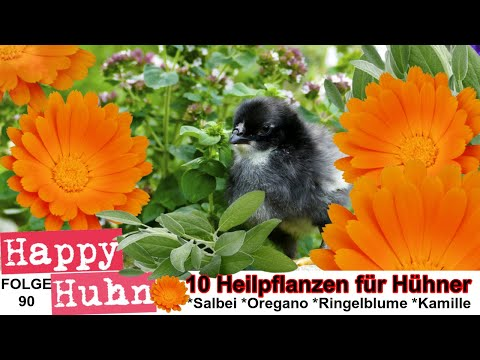 Happy Huhn Folge 90: Zehn Heilpflanzen für die Geflügelhaltung, Kräuter für Hühner Krankheiten,