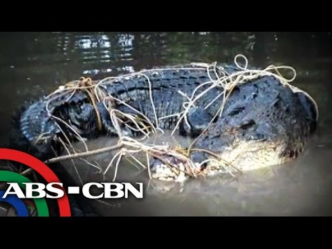 Giant crocodile caught under a house in Palawan