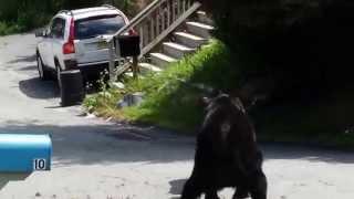 Mirá la feroz pelea de dos osos en el patio de una casa