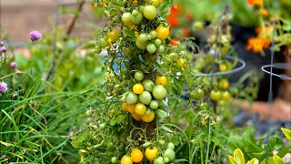 ???? LIVE: 5 Tips to Grow LOTS of Tomatoes, Tomato Basics & LIVE Q & A (REPLAY)