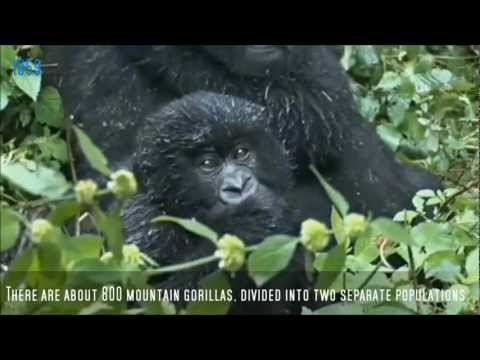The Story Of Dian & Digit ( for The Dian Fossey Gorilla Fund Int.)