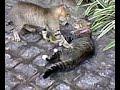 Briga de Gatos Gays