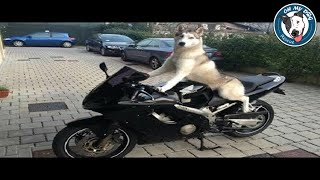 Funny And Cute Husky Puppies Compilation - Best Of 2018