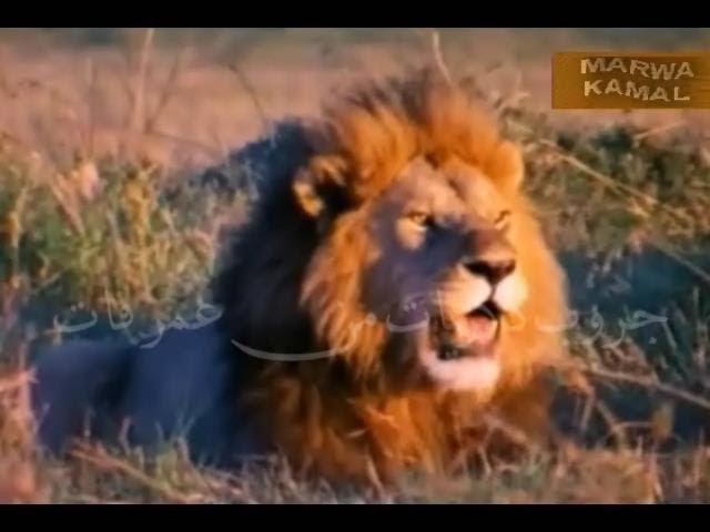 حلقة كاملة من برنامج عالم الحيوان بتاع زمان تعليق محمود سلطان