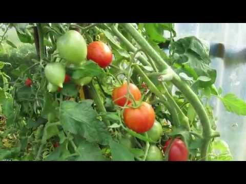 Tomaten Im Gewächshaus ( August 2014 )
