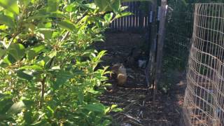 Permaculture Orchard Tour Part 1: The Poultry Run