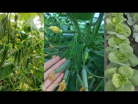 Secrets to Growing AWESOME Tomatoes