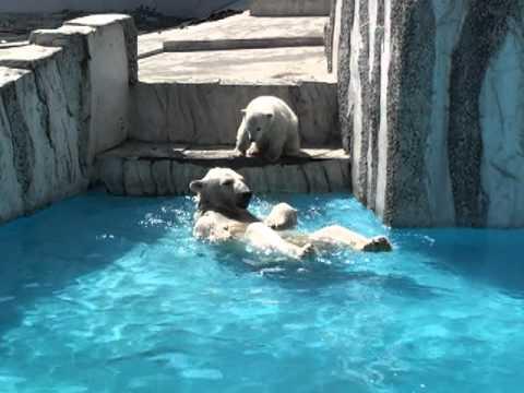 札幌円山動物園~シロクマの赤ちゃん2011~002.mpg