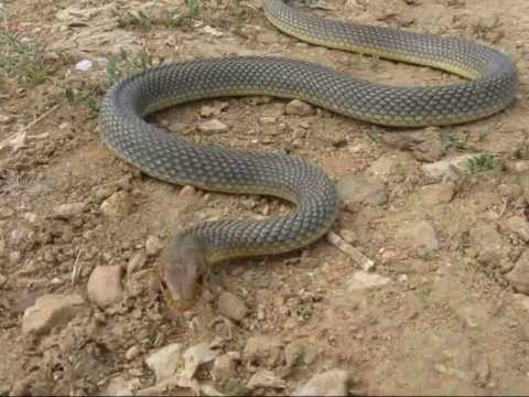 фото змеи полоза