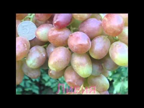сорта винограда Войтова Александра