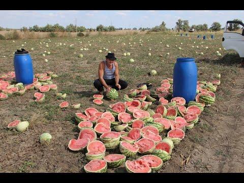 Южный поток Заготовка браги из арбуза, сорт Волгоградец выращенный в бурунах.( Часть №1 )