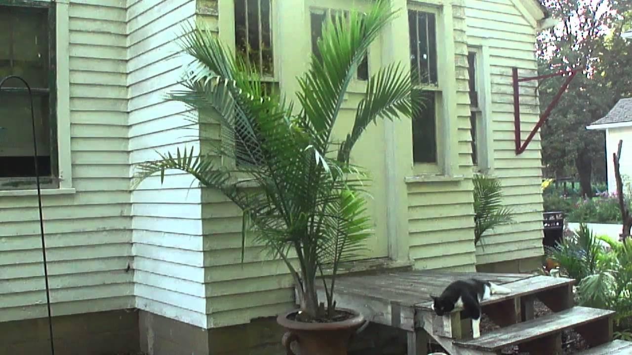 Majesty Palm Tree In A Pot Tropical Plants In Minnesota
