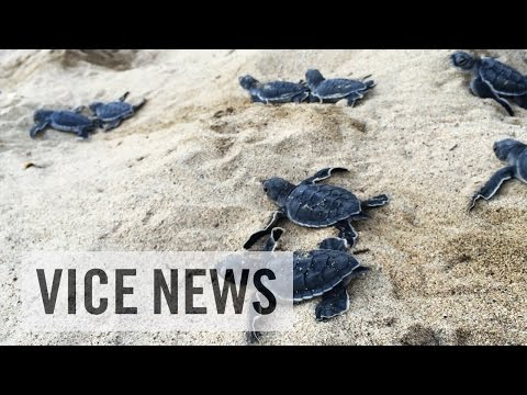 Turtle Poaching in Costa Rica: Shell Game (Part 1)