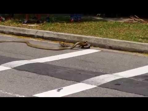 Una pelea inédita: una pitón se enfrentó a una cobra real