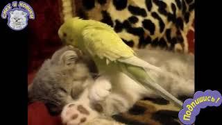 Попугай Достаёт Котёнка