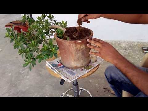 how to grow semi cascaded !Work  on semi cascaded bonsai plant ! tips and care ! bonsai styling