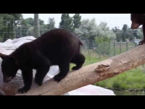 Baby Bears at Yellowstone Bear World - Part 1