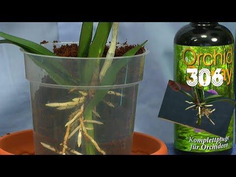 Orchidee durch Stecklinge vermehren. Die Bambusorchidee mit Erfolg