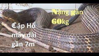 Bắt được cặp rắn hổ mây gần 60kg và dài gần 7m/ Large snake 60kg