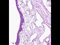 Shotgun Histology Female Urethra