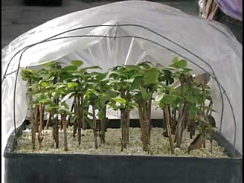 Dr. Ken Mudge on cutting propagation