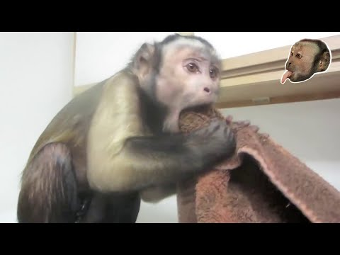 Capuchin Monkey versus Ice! Very Smart Monkey!