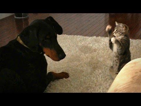 Dog Vs Cat:Cute 'Ninja' Kitten Shows Doberman Who's Boss
