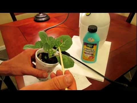 How to Kill Cabbage Worms in Your Garden Organically with Bacillus Thuringiensis (Bt): Easily!