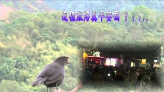 紫嘯鶇揚聲急呼 Taiwan Whistling Thrush Singing 2016.02.24