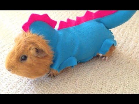Really Cute Guinea Pigs Guinea Pig in Funny And Cute