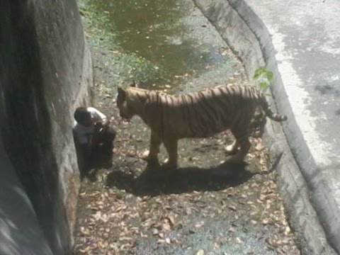 White tiger kills a young boy in Delhi India - Raw video