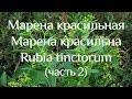 Марена красильная Марена красильна Rubia Tinctorum часть 2 mp3