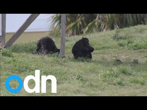 NY judge to consider claims that chimps are 'legal persons'