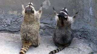 Funny Animal Raccoon Best Compilation Ever 2015