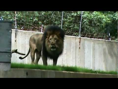 Luke The Lion Roaring At The Dc Zoo video