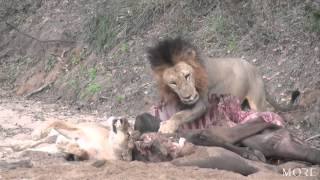 Kruger male dominates a buffalo kill - Lion Sands [HD]