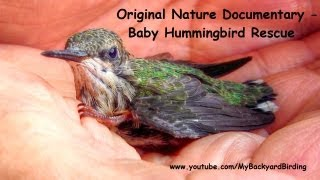 Baby Hummingbird Rescue - Original Nature Documentary