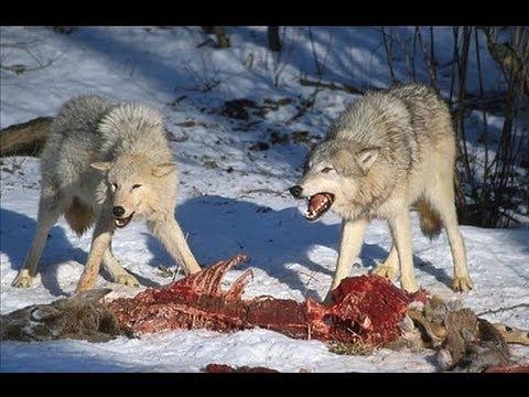 Волк youtube e - e738