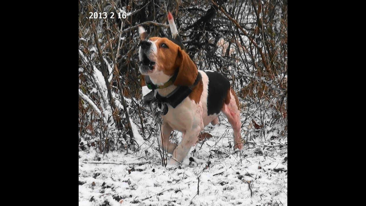 Beagle hunting - photo#12