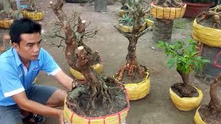 19/9/2017 mời khách lô 5cây mai vàng xù bonsai đẹp rất quái./0972666608 nghĩa(đã bán)