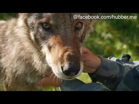 Wölfe als Haustiere: Immer mehr Tiere ausgesetzt