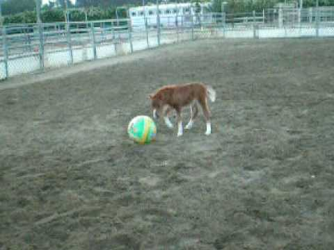 Stuart Little - Mini Horse