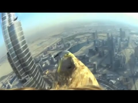 Eagle with mini camera flies off top of Burj Khalifa