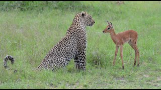 Incredible footage of leopard behaviour during impala kill