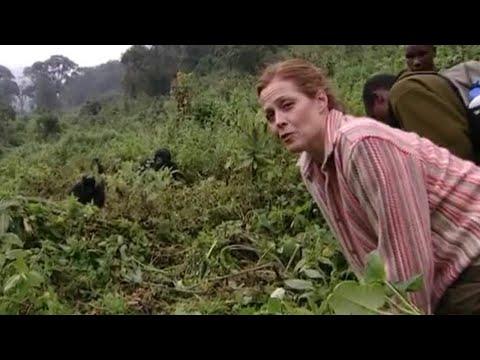 Gorilla Manners - Gorillas Revisited with Sigourney Weaver - BBC