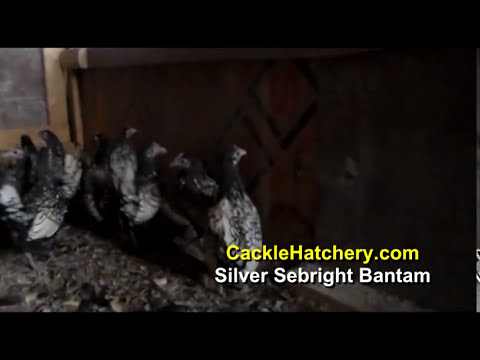 Silver Sebright Bantam Chicken Breed (Breeder Flock)