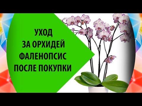 Орхидея Фаленопсис: Уход После Покупки
